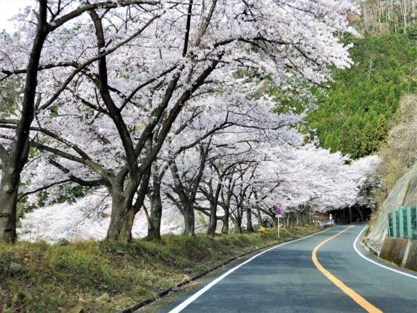 海図大崎の桜